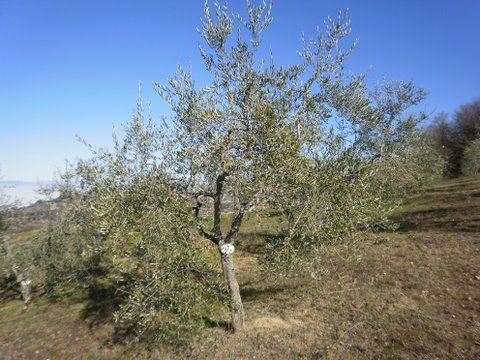 Marry Me in Tuscany loves Il Palazzone – Adopt an olive tree scheme